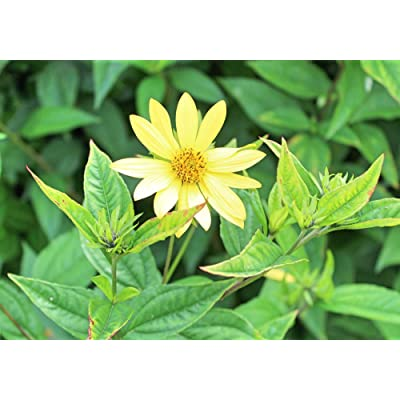 Lemon Queen Sunflower Flower Seeds, 55+ Premium Heirloom Seeds, Beautiful Bright Yellow & Wonderful Addition to Your Garden! (Isla's Garden Seeds), 85-90% Germination Rates, Highest Quality Seeds : Garden & Outdoor
