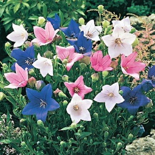 40+ PLATYCODON BALLOON MIXED FLOWER SEEDS (BLUE, WHITE, PINK/) PERENNIAL