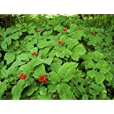 *25+ American Pre- Stratified Ginseng Seeds - Now Is the Time to Sow Ginseng by Seeds and Things- Instructions Included