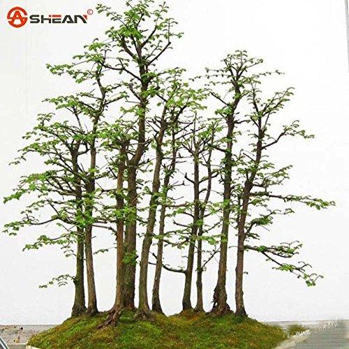 Dawn Redwood Bonsai - Dawn Redwood Forest Bonsai Seeds Bonsai Tree Metasequoia glyptostroboides Grow Your Own Bonsai Tree, 50 Pcs/bag
