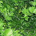 Giant of Italy Parsley Seeds (Petroselinum crispum) 40+ Rare Herb Seeds