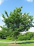 Celtis occidentalis | Hackberry | Nettletree | Sugarberry | 10_Seeds