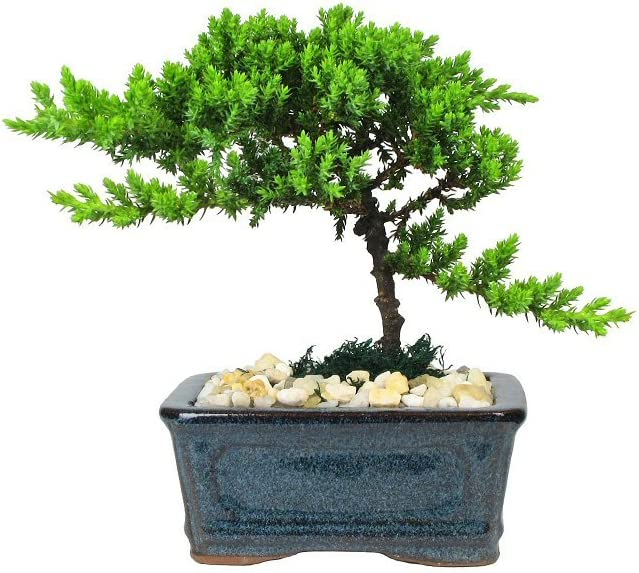 Eve's Petite Japanese Juniper Bonsai Tree, 4 Years Old, Planted in 5 Inch Ceramic Container