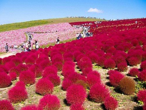 Heirloom 1000 Seeds Grass Burning Bush Kochia Scoparia RED Flower Plant Garden Bulk Exotic B0097