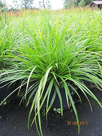 Japan-Segge J.S. Mosten - Carex morrowii J.S. Mosten: Amazon.de: Garten