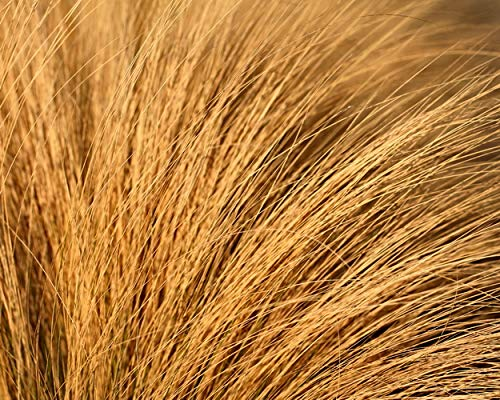 Grass Photograph, Earth Tones, Amber Waves of Grass, Honey Brown Decor, Abstract Wall Art