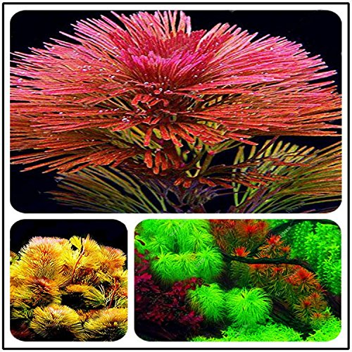 (1000 Pcs Aquarium Seeds Water Grass Live Plant Fish Tank Decoration Landscape)