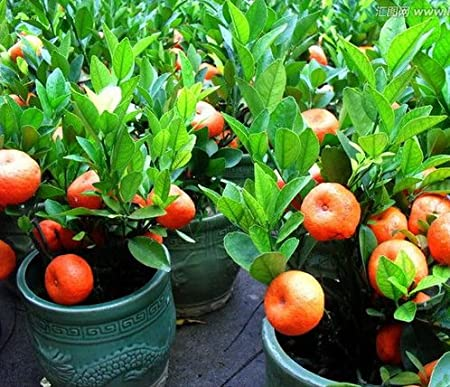 20 Seeds Balcony Patio Potted Fruit Trees Planted Seeds Kumquat Orange Tangerine