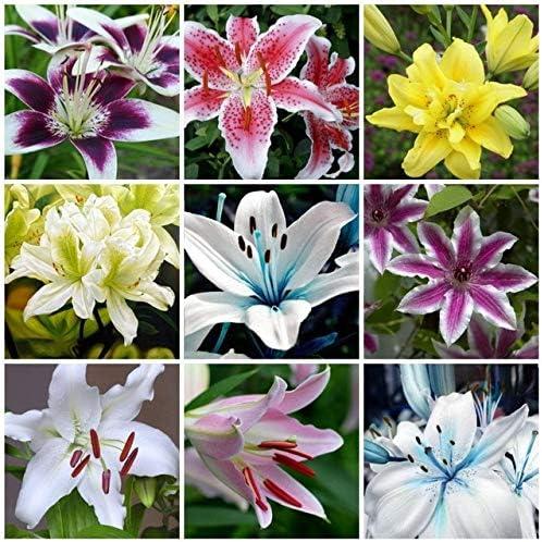 AGROBITS 100pcs Plantas Raras Lirio Hermoso Arco Iris árbol de Flores de Lirio de jardín Plantas para Jardin Bonsai para la decoración del jardín: Amarillo: Amazon.es: Jardín