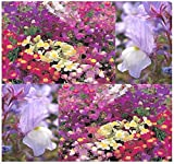 BIG PACK - (406,000) FAIRY BOUQUET BABY SNAPDRAGON Seeds - Linaria maroccana, PINK WHITE PURPLE & YELLOW MIX - BABY SNAPDRAGON TOADFLAX - Flower Seeds By MySeeds.Co (BIG PACK - Fairy Bouquet)