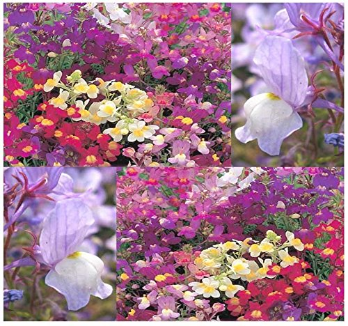 (BIG PACK - (406,000) FAIRY BOUQUET BABY SNAPDRAGON Seeds - Linaria maroccana, PINK WHITE PURPLE & YELLOW MIX - BABY SNAPDRAGON TOADFLAX - Flower Seeds By MySeeds.Co (BIG PACK - Fairy Bouquet))