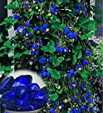 buy ETIAL 500Pcs Blue Strawberry Rare Fruit Vegetable Seeds Bonsai Edible Garden Climbing Plant now, new 2018-2017 bestseller, review and Photo, best price $6.99