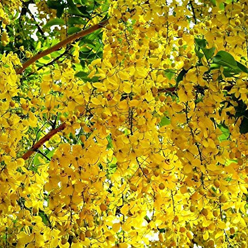(Portal Cool 60 Golden Shower Tree Seed Rare Yellow Flower Cassia Fistula Tropical Tree Fresh)