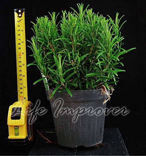 Rosemary Herb Plant 1Ltr Pot Upright Silver Foliage