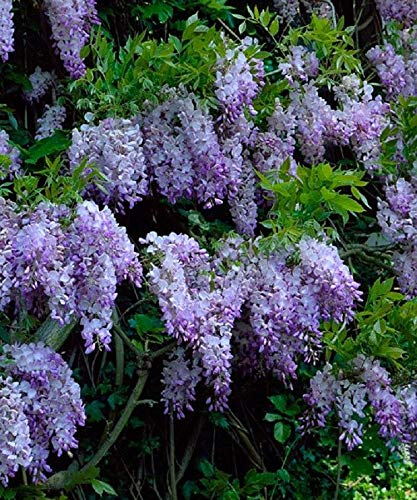 Amazon 5 Dark Purple Chinese Wisteria Seeds Vine Climbing
