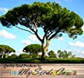 4 Packs x 5 ITALIAN STONE PINE Tree Seed Seeds - Pinus pinea - EDIBLE PINE NUTS - Umbrella Pine - Zone 7 - 11 - Seeds By MySeeds.Co