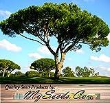 4 Packs x 5 ITALIAN STONE PINE Tree Seed Seeds - Pinus pinea - EDIBLE PINE NUTS - Umbrella Pine - Zone 7 - 11 - Seeds By MySeeds.Co