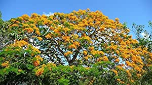 M-Tech Gardens® Rare Tropical Yellow Gulmohar poinciana Tree 100 Seeds Pack