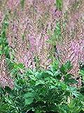 Perennial Farm Marketplace Astilbe c. 'Vision in Pink' False Spirea Flowering Perennial, 1 Gallon, Light Pink/Bright Green