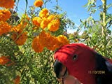 Tagetes erecta tall bushy variety 200+ seeds