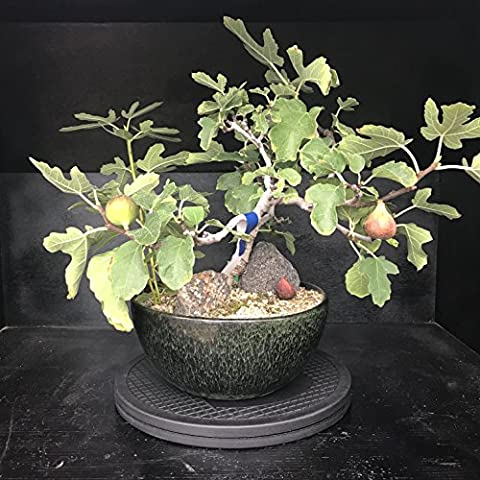Mighty Mini Bonsai Tree Turntable 10