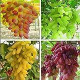 Hot Sale!!! Senior Courtyard Plants , Delicious Fruit seeds , Gold Finger 100pcs Grape Seeds