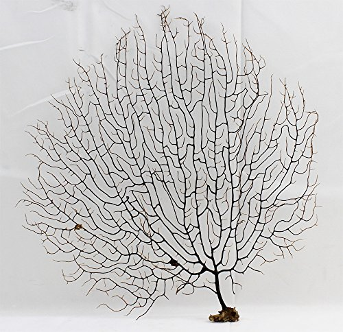 "Black Sea Fan 7"" - 10"" (Black Coral Sea Fan)"