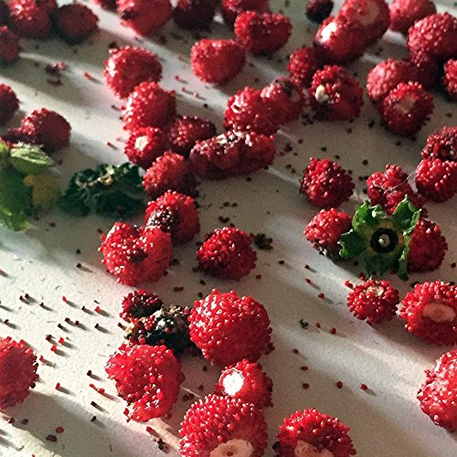 Woodland Wild Strawberry Seeds (Fragaria vesca) 100+ Rare Heirloom Seeds in FROZEN SEED CAPSULES for the Gardener & Rare Seeds Collector - Plant Seeds Now or Save Seeds for Years (Wild Strawberries Seeds)