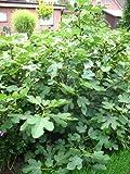 winterharte eßbare Feige, Ficus carica Brown Turkey 30 - 40 cm hoch im 3 Liter Pflanzcontainer