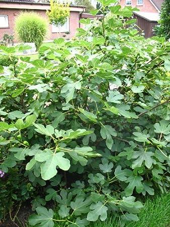 im Topf 40-60 cm Feige braun Feigenbusch winterhart Feigenbaum für den Garten Ficus carica Brown Turkey Feige