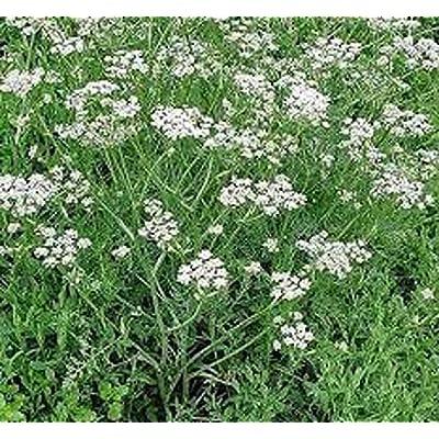 Caraway Herb Seeds 50 Fresh Seed : Garden & Outdoor