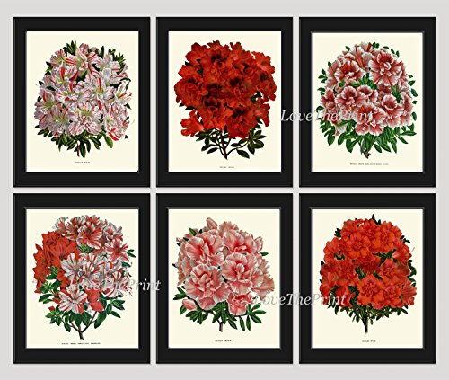 antique-botanical-print-set-of-6-antique-beautiful-flowers-large-azalea-flowering-shrub-garden-natur