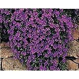Fiore - Rock Crescione- Aubrieta deltoidea - Royal Viola - 250 Seme