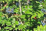 Oregon Grape aka Mahonia aquifolium Live Plant Fit 5 Gallon Pot