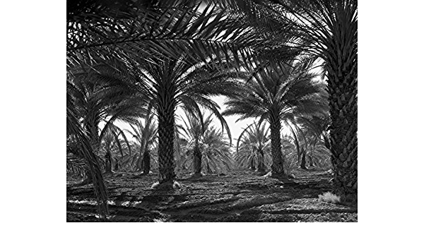 Amazon Com Date Palm 1937 Ndate Palm Trees In Coachella Valley California Photograph By Dorothea Lange February 1937 Poster Print By 24 X 36 Posters Prints