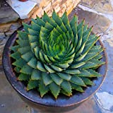 Meflying Aloe Vera Seeds Rare Herb Seeds Cosmetic Bonsai Succulent Plants Seeds Garden
