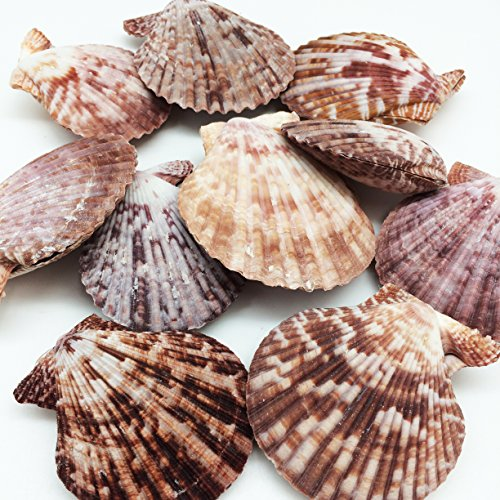 PEPPERLONELY 10 Pairs Purple Pecten Nobilis Scallop Sea Shells , 2 Inch ~ 3 Inch