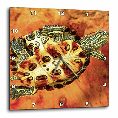 3dRose Red Ear Slider Turtle Hatchling - Na02 Dno0535 - David Northcott - Wall Clock, 13 by 13-Inch (dpp_83995_2) (Sliders Red Ear)