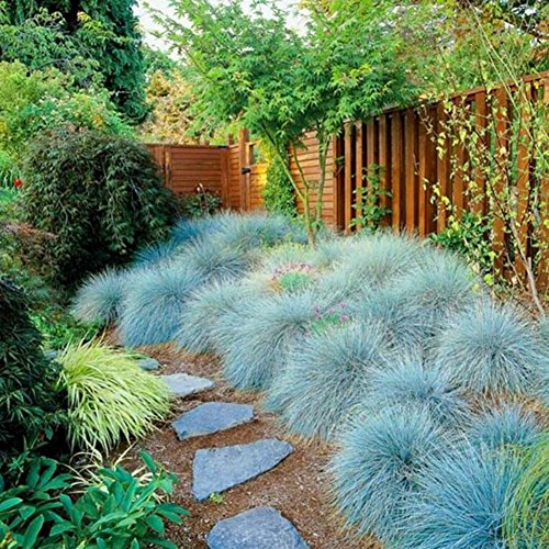 Bornbayb Blue Fescue Grass Seeds Ornamental Grass Seeds for Home Garden( 100 Pcs and 200 Pcs)