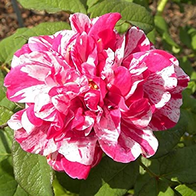 ADB Inc Hypnotize Rose Plant TEA Rose, Rose Bush Striped Pink White : Garden & Outdoor