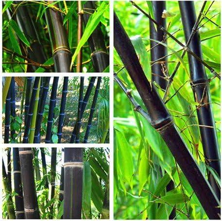 100PCS Negro Semillas de bambú Phyllostachys Nigra Bonsai Las semillas del jardín de macetas maceta: Amazon.es: Jardín