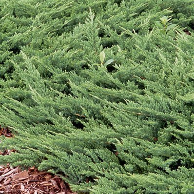 Creeping Juniper - Prince of Wales - 30 Live Plants in 4'' Containers - Evergreen Groundcover by Florida Foliage (Image #7)