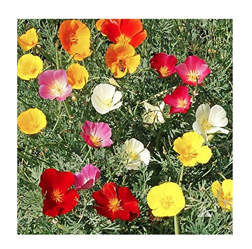 3000 Mixed California Poppy Seeds - State Flower, Golden Orange Poppy, Re-Seeds