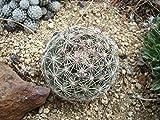 HOT - Escobaria Vivipara rosea Hardy Ball Cactus Seeds