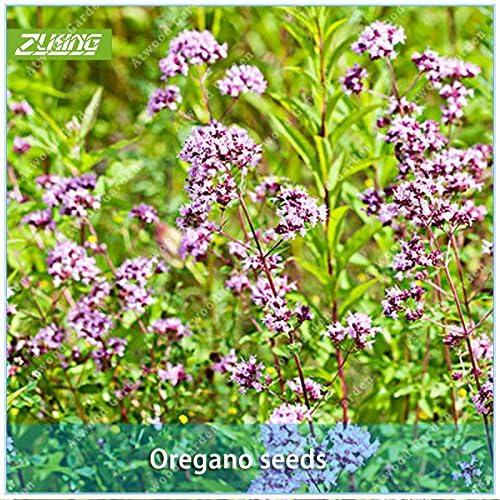 ZLKING 100pcs semillas de flores de orégano Semilla Bonsai Plantas para el hogar planta de jardín Súper Natural Products Supernatural Producto: Amazon.es: Jardín