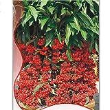 Best Garden Seeds Original Ardisia Crenata Christmas Coral Berry Ornamental Tree, Original Pack ,12 Seeds,Tropical Or Indoor No Drought