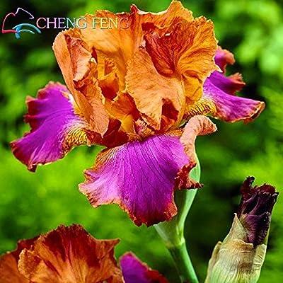 Green Seeds Co. 1 bolsa=50 Unids Iris bonsai Popular jardín perenne Flor Magníficas flores de corte para el jardín de su casa Bonsai Plantar Orquídeas Jardin Macetas: Verde claro: Amazon.es: Jardín