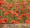 BIG PACK - RED POPPY (100,000) HEAVY BLOOMER flower Seeds - Papaver rhoeas - Zones: 3-9 By MySeeds.Co