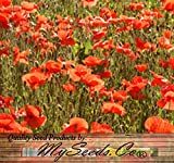 RED POPPY HEAVY BLOOMER flower Seeds - Europe from England to Greece - Papaver rhoeas - Zones: 3-9 - Quality Non-GMO Seeds By MS.CO (10 Packets)