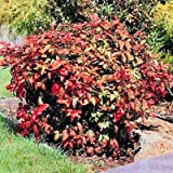 HEAVENLY BAMBOO NANDINA DOMESTICA 20 stratified seeds